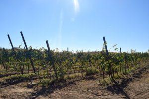 Vinarija Đorđe vinogradi